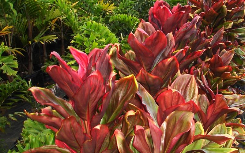 Kauai Beauty Ti plants