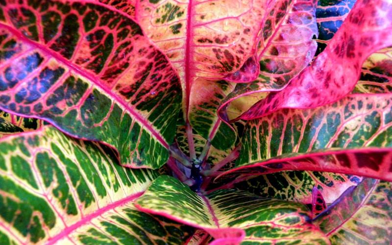 Croton Shrubs at Kipapa Nursery