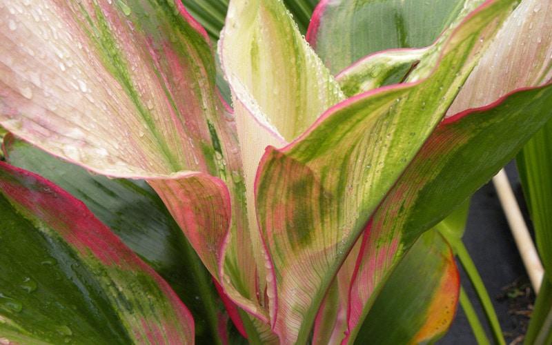 Painter's Pallette Hybrid Ti Plants