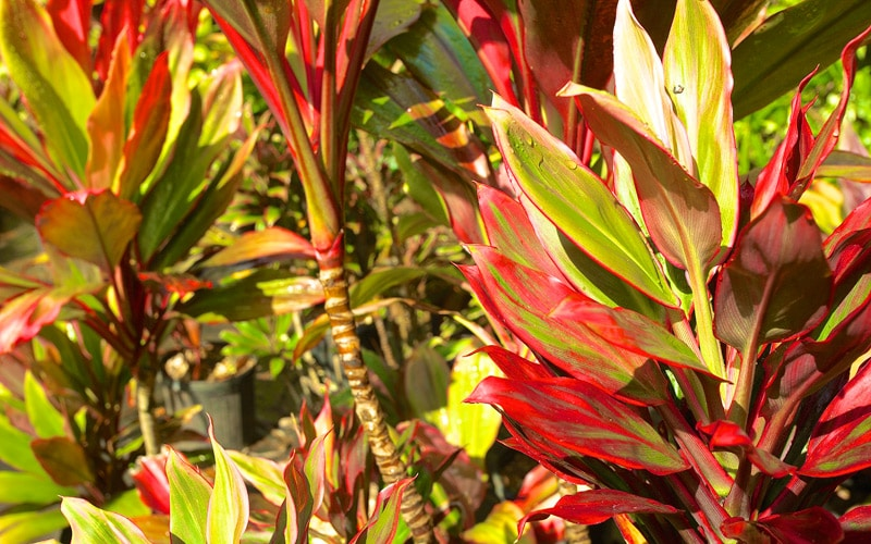 Dwarf Hybrid Ti Plants
