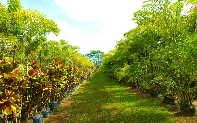 Rows of Palms and Hybrid Ti at Kipapa Nursery Kauai