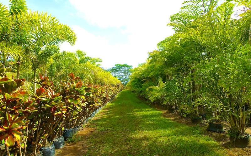 Kipapa Nursery Palms & Hybrid Ti
