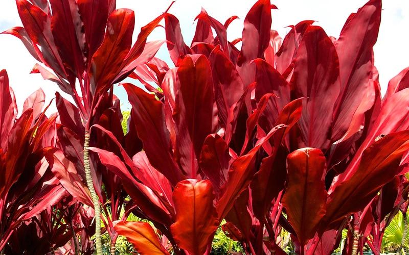 Auntie Lou Hybrid Ti Plants
