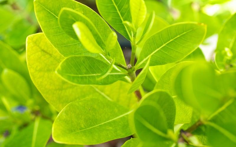 Kipapa Nursery Trees