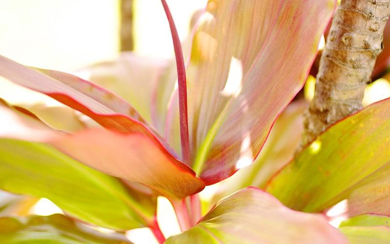 Hybrid Ti Plants