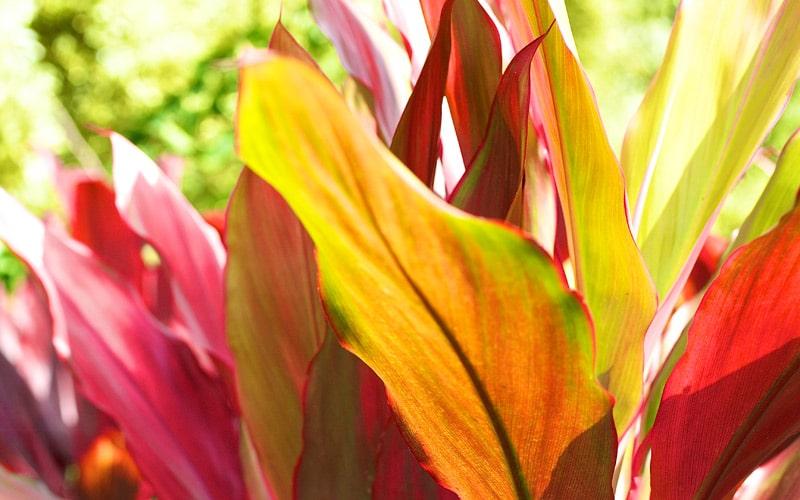 Volcano Hybrid Ti Plants