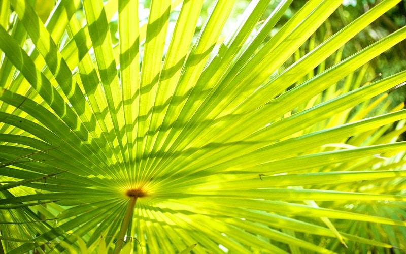 Thatch Palm Kauai