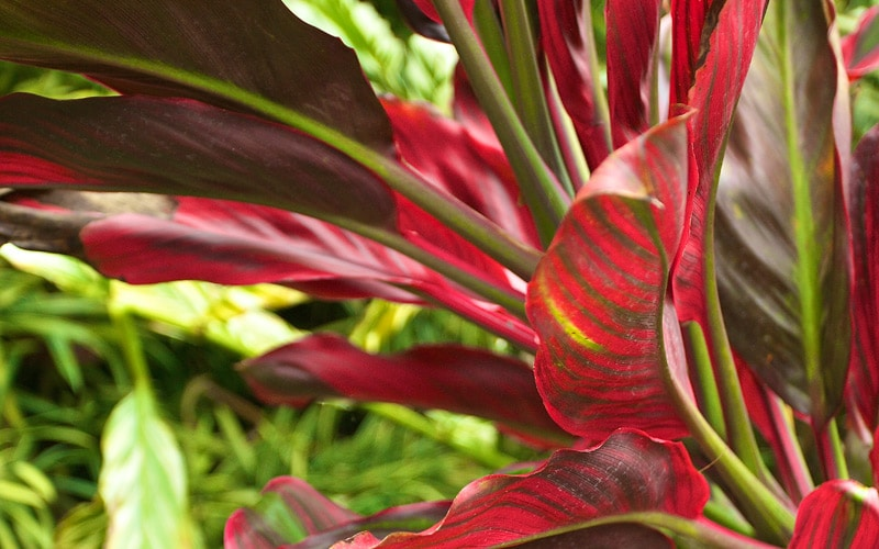 Mele Kalikimaka Hybrid Ti plants