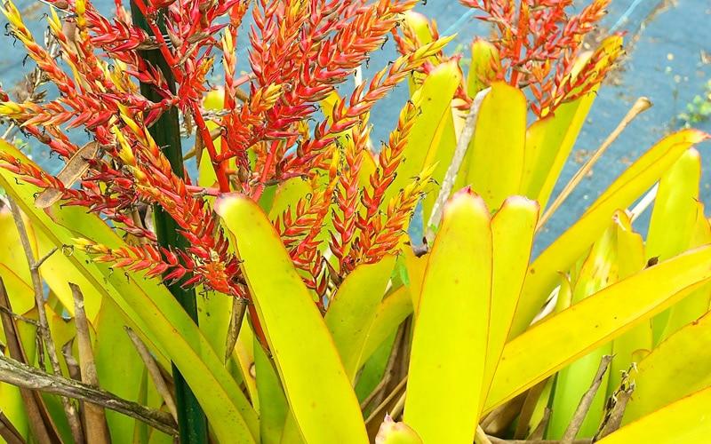 Giant Bromeliad Blooms