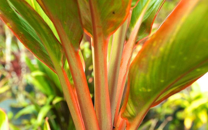 Koolau Hybrid Ti Plants