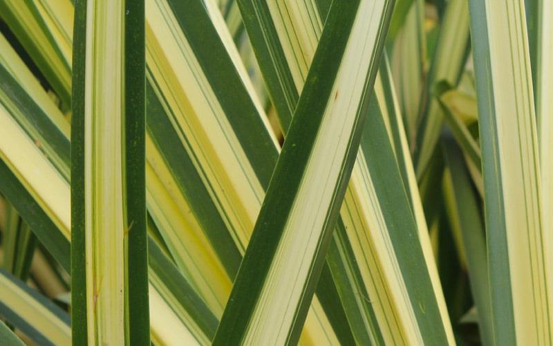 Lauhala Ocean tolerant plants Kauai