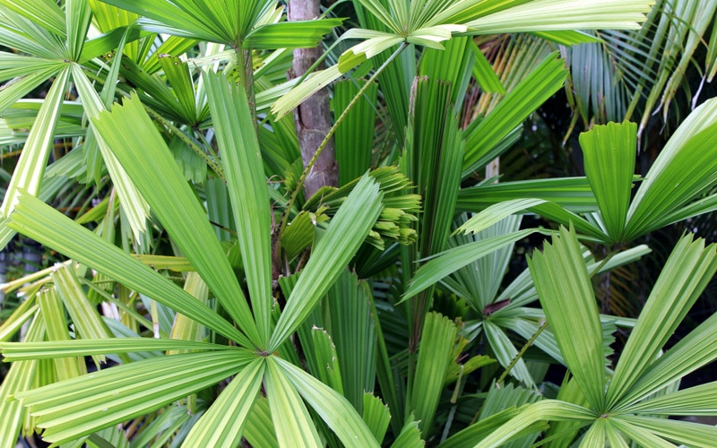 Rhapis (Lady) Palm