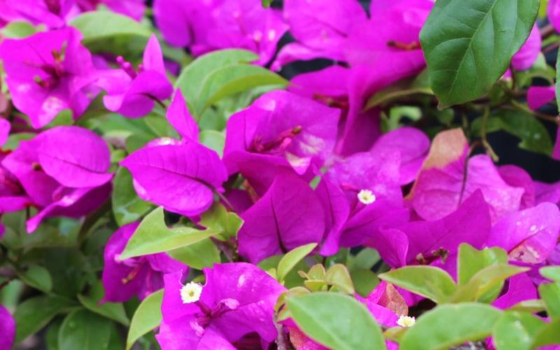 Purple Bougainvilla Kauai