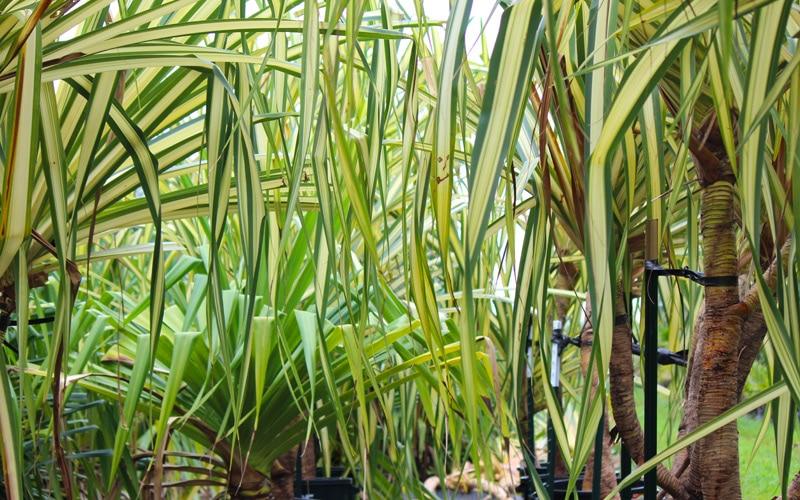 Ocean Tolerant Lauhala Plants
