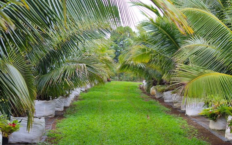 Dwarf Coconut Palm Trees in 300 gallon containers Kauai