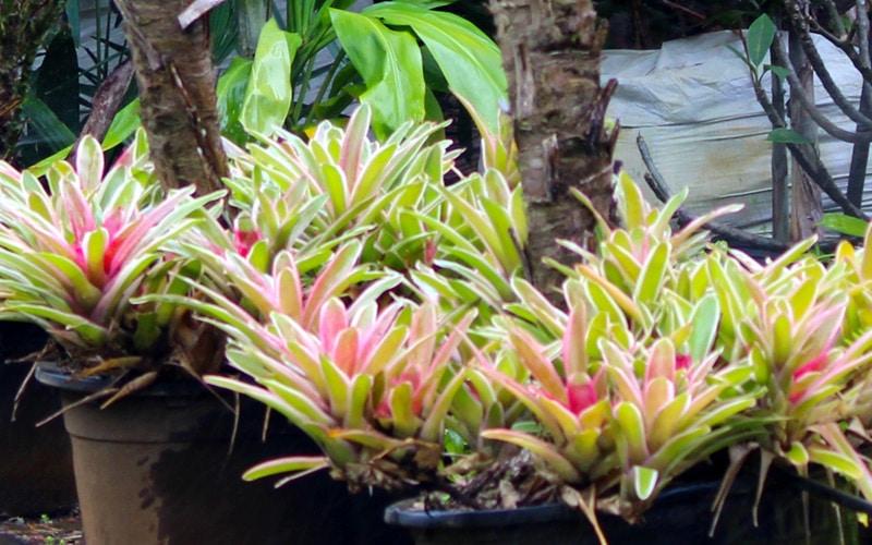 Bromeliads at Kipapa Nursery Kauai