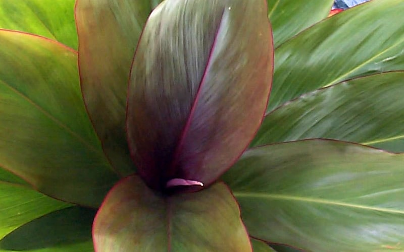 Burgundy Hybrid Ti Plants