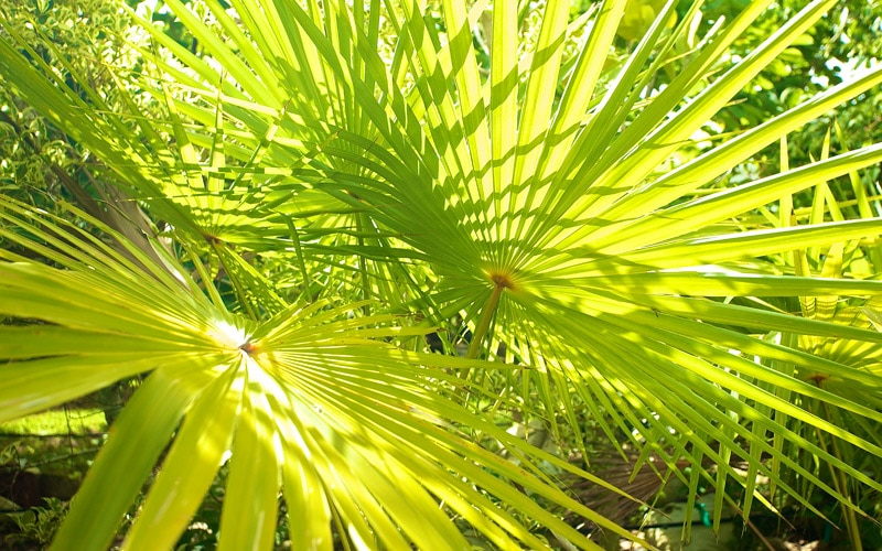 Licuala Grandis Fan Palm