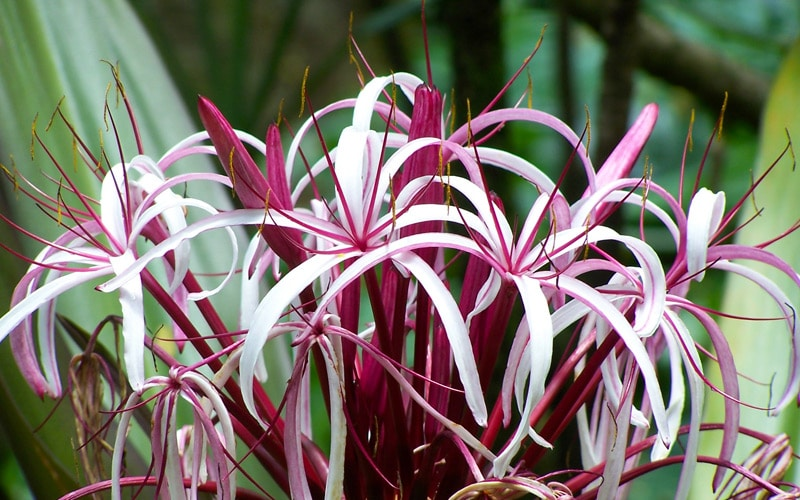 Queen Emma Spider Lily