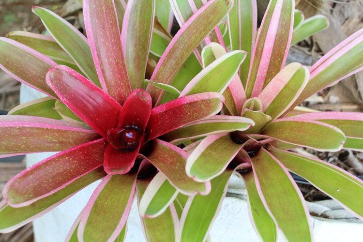 Compacta Bromeliad