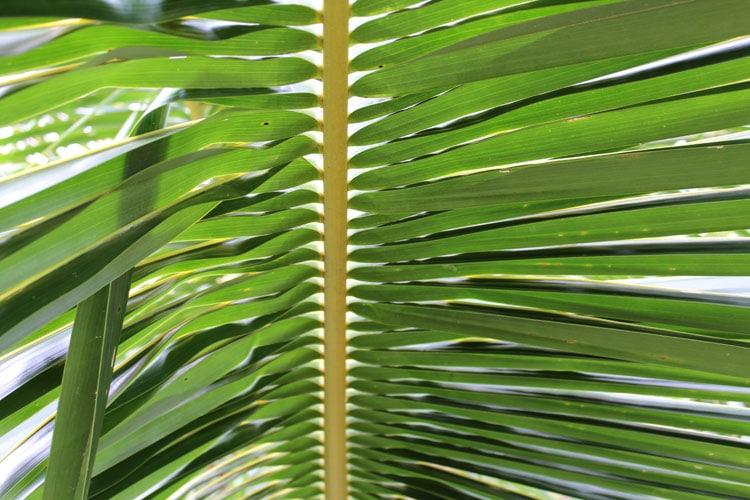 Dwarf Coconut Frond