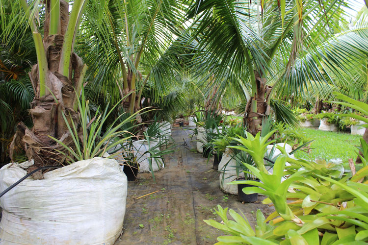 Dwarf Coconut Trees For Sale