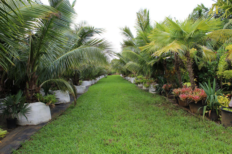 Dwarf Coconut Palms in 300 gallon grow bags
