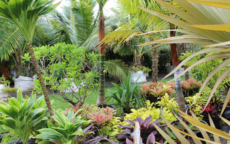Palms, Hybrid Ti and Bromeliads