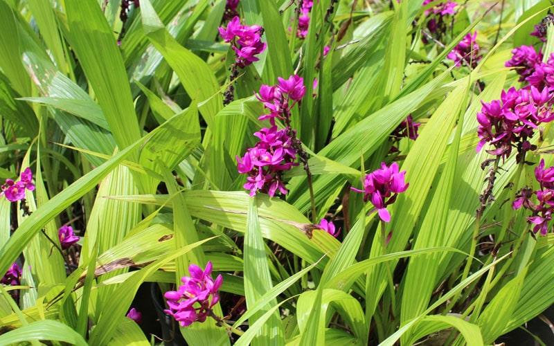 Grape Orchids