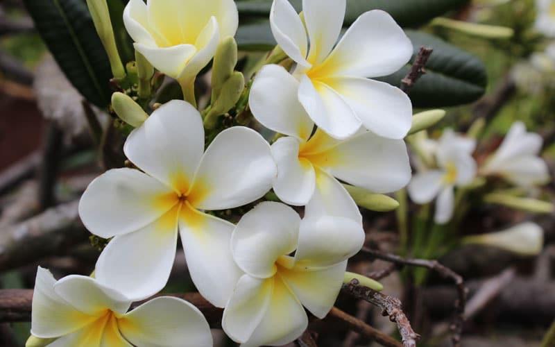 Singapore Plumeria