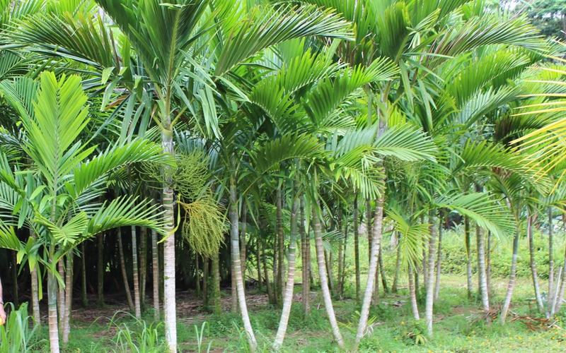 Solo McArthur Palms Field Stock